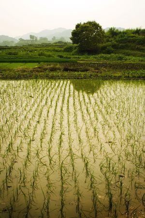 rice paddies in south china photo
