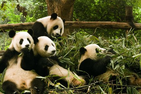 panda family eating together Stock Photo