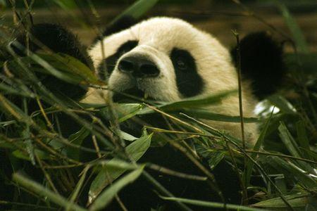 panda eating Stock Photo - 6113822