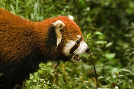 red panda Stock Photo - 6113820