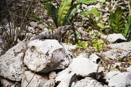 A crocodile lying on the stone