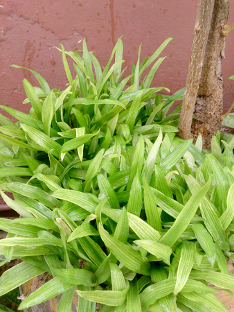 fever plant: Murdannia loriformis (Hassk.) Rao et Kammathy with cancer treatment.