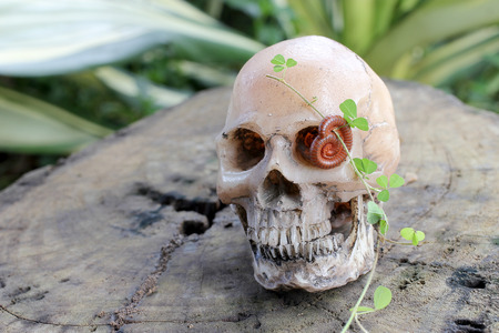 human skull with Millipede on old wood in the forest, still life style.