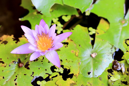 Lotus flower in pond background Stock Photo