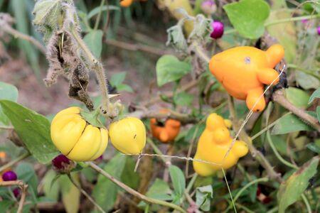 auspicious: Solanum mammosum on plant
