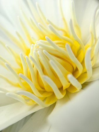 plenitude: Beautiful white lotus or water lily in the pond.