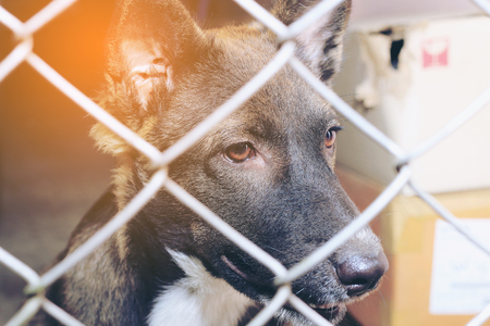 Thai dog  in the jail, Sad looking dog behind the fence looking out through the wire of his cage, Boarding home for dogs. Stock Photo