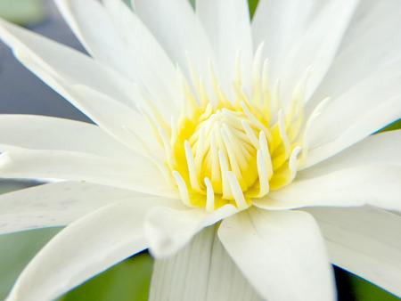 white lotus blooming in pond, close up shot.
