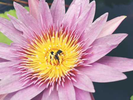 honey tone: Honey bee collects pollen showing its pollen baskets and flies away on lotus flower in the pond. Saturated colors and vibrant detail make this an almost surreal image, vintage tone.
