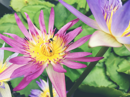 Honey bee collects pollen showing its pollen baskets and flies away on lotus flower in the pond. Saturated colors and vibrant detail make this an almost surreal image, vintage tone.