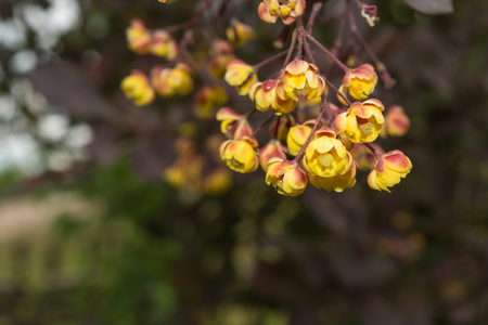 yellow stamens: Small yellow flowers in a branch