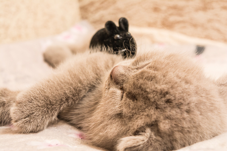 lop eared: A Scottish lop-eared kitten is sleeping on its side, a black mouse is sitting on a kitten, an animal background, Selective focus Stock Photo