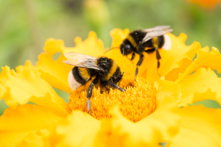 two bumblebees on a yellow flower collects pollen, selective focus, nature background Foto de archivo