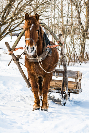 A horse in a harness with a homemade sleigh standing in the snow, sunny winter day