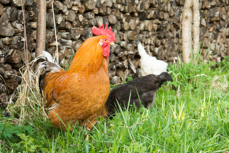 colorful cock in the grass on the background of the palancers, white and black hens pecking green grass, breeding poultry in the village