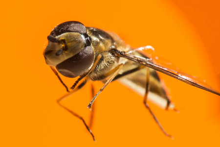 flying Hoverflies fly on an orange background, insect macro abstract background