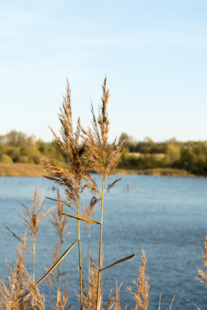 two stalks of dry grass against the background of a lake, close-up abstrakt nature background, selective focus Stock Photo