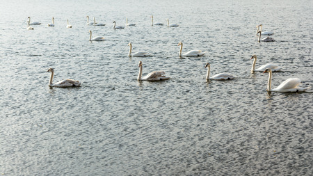 a group of swans are floating on the water in windy weather, wildlife background, selective focus in the center of the frame