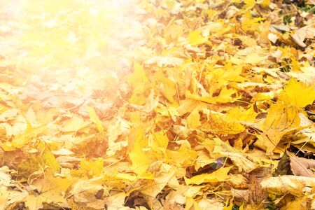 Yellow and orange autumn leaves background. Outdoor. Colorful backround image of fallen autumn leaves perfect for seasonal use. Space for text.