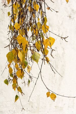 branch of birch with yellow leaves, nature abstract background, selective focus