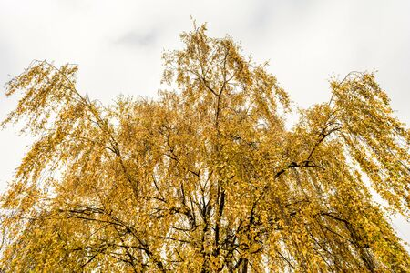 Yellow orange autumn crown of birch with leaves against a cloudy white sky, nature abstract background