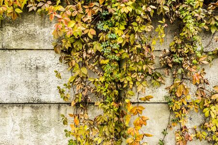 branchy drying plant against a concrete wall, close up abstract autumn background 写真素材