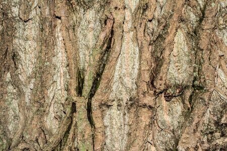 poplar tree bark texture, close-up nature abstract background