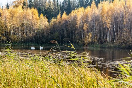 Forest lake in the autumn sunny day, two wild white swans swim in a pond, forest landscape background