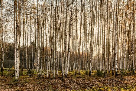 Beautiful autumn landscape, birches with yellow leaves in the wind, autumn forest, falling leaves, wildlife landscape background 写真素材