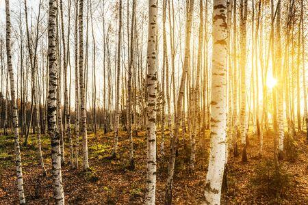 夕日の光の中の白檀の木立は、木々は夕方に暖かい秋の太陽によって照らされ、野生動物の風景の背景