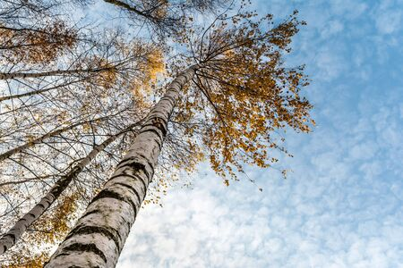 beautiful natural landscape with a view from the bottom to the trunks and tops of birch trees with Golden bright orange autumn foliage against the blue sky with clouds