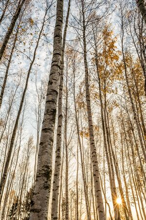 birch grove in the rays of the setting sun, the trees are lit by the warm autumn sun in the evening, wildlife landscape background