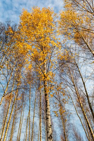 many young birches with orange falling leaves, the trees are lit by the warm autumn sun in the evening, wildlife landscape background