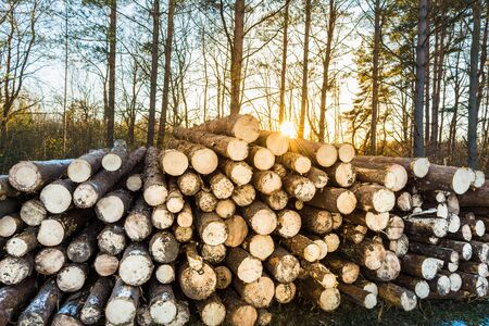 Wooden logs of pine woods in winter forest. Freshly chopped tree logs stacked up on top of each other in a pile.