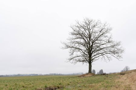 lonely big oak without foliage in a field against a cloudy sky, nature abstract background