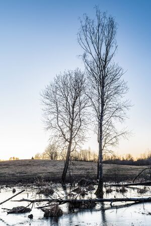 forest marshland with dry grass and dead fallen trees, blue water is covered with thin transparent ice, wildlife in early spring after sunset, nature background Stockfoto