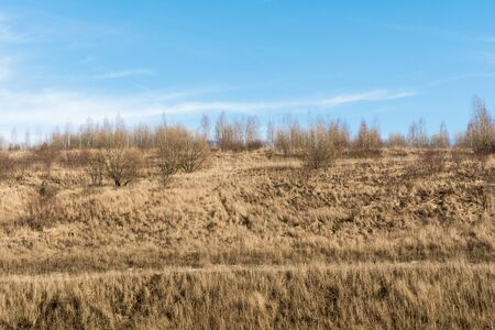 The hill with the dry grass with pine trees and birch trees on the blue skay with clouds background