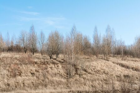 The hill with the dry grass with pine trees and birch trees on the blue skay with clouds background Zdjęcie Seryjne
