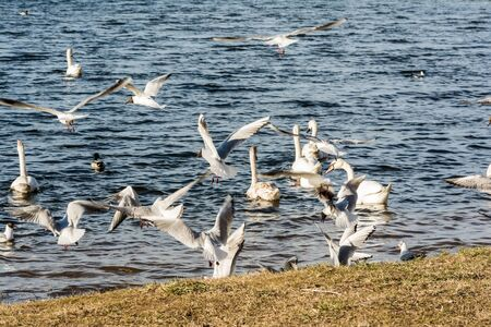 Large flock of seagulls geese swans in a city park, bird's chaos near the coastline. Selective focus Stock Photo