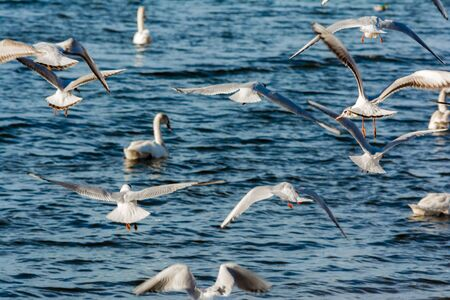 Large flock of seagulls geese swans in a city park, bird's chaos near the coastline. Selective focus