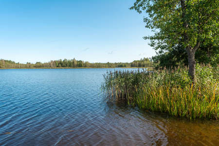 Forest blue lake clear autumn sky. Tall reeds and a large deciduous tree grow in the water. The horizon of water and sky is divided by a forest. Nature landscape background