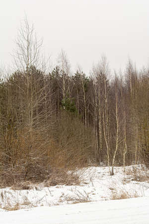 Pines, birches and other trees in winter. Gloomy winter day. Nature landscape background Archivio Fotografico
