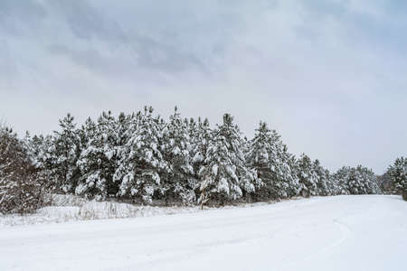 Moody winter landscape of spruce woods cowered with deep white snow in cold frozen highlands. Gloomy overcast winter day in coniferous forest