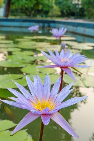 The lotus flower is a purple color  photo