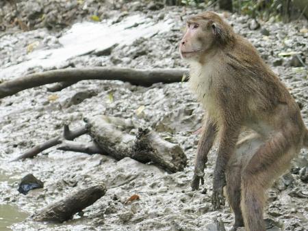 macaque in Mangrove Forest, Klong Kone, Thailand