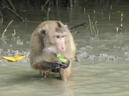 macaque in Mangrove Forest eat food, Klong Kone, Thailand