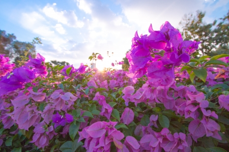 Bougainvillea flowers in a garden with sun shining through a gap in the foliage overhead. photo
