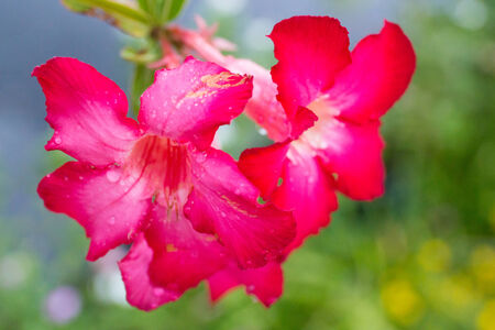 Desert rose, Impala Lily, Azalea photo