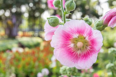 hollyhock: pink flower of hollyhock in park