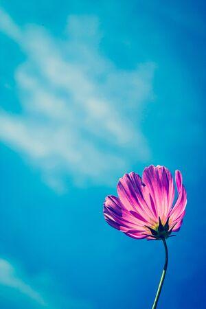cav: C.sulphureus Cav. or Sulfur Cosmos and blue sky